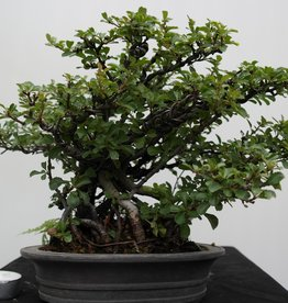 Bonsai Japanische Zierquitte, Chaenomeles japonica, nr. 7796