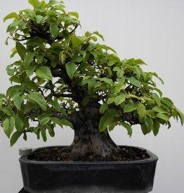 Bonsai Cognassier de Chine, Pseudocydonia sinensis, no. 7801