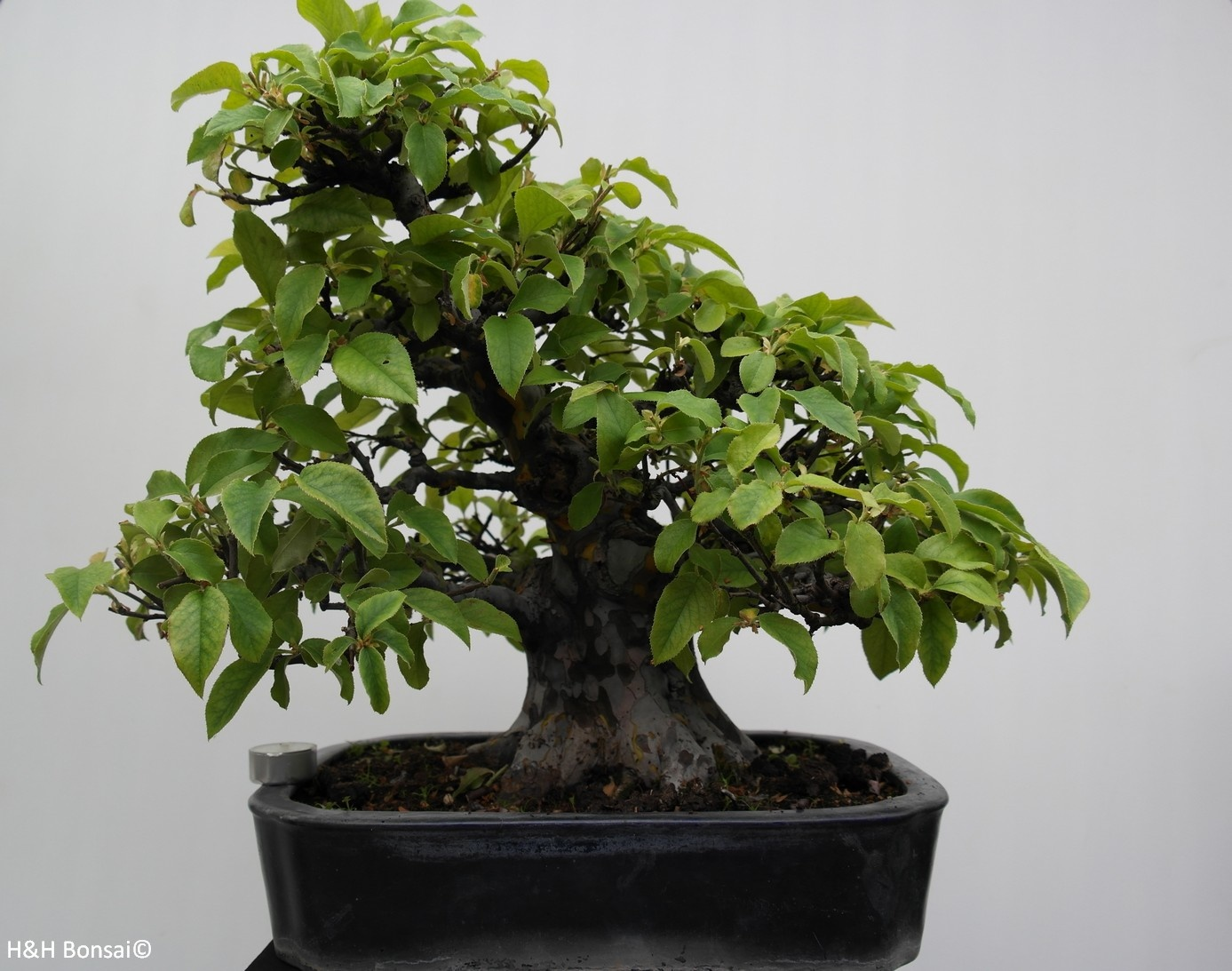 Bonsai Chin. Quitte, Pseudocydonia sinensis, nr. 7801