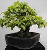 Bonsai Pseudocydonia sinensis, Chineese kweepeer, nr. 7801