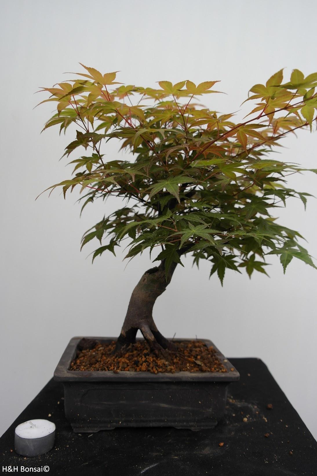 Bonsai Acer palmatum deshojo, Japanse esdoorn, nr. 7651