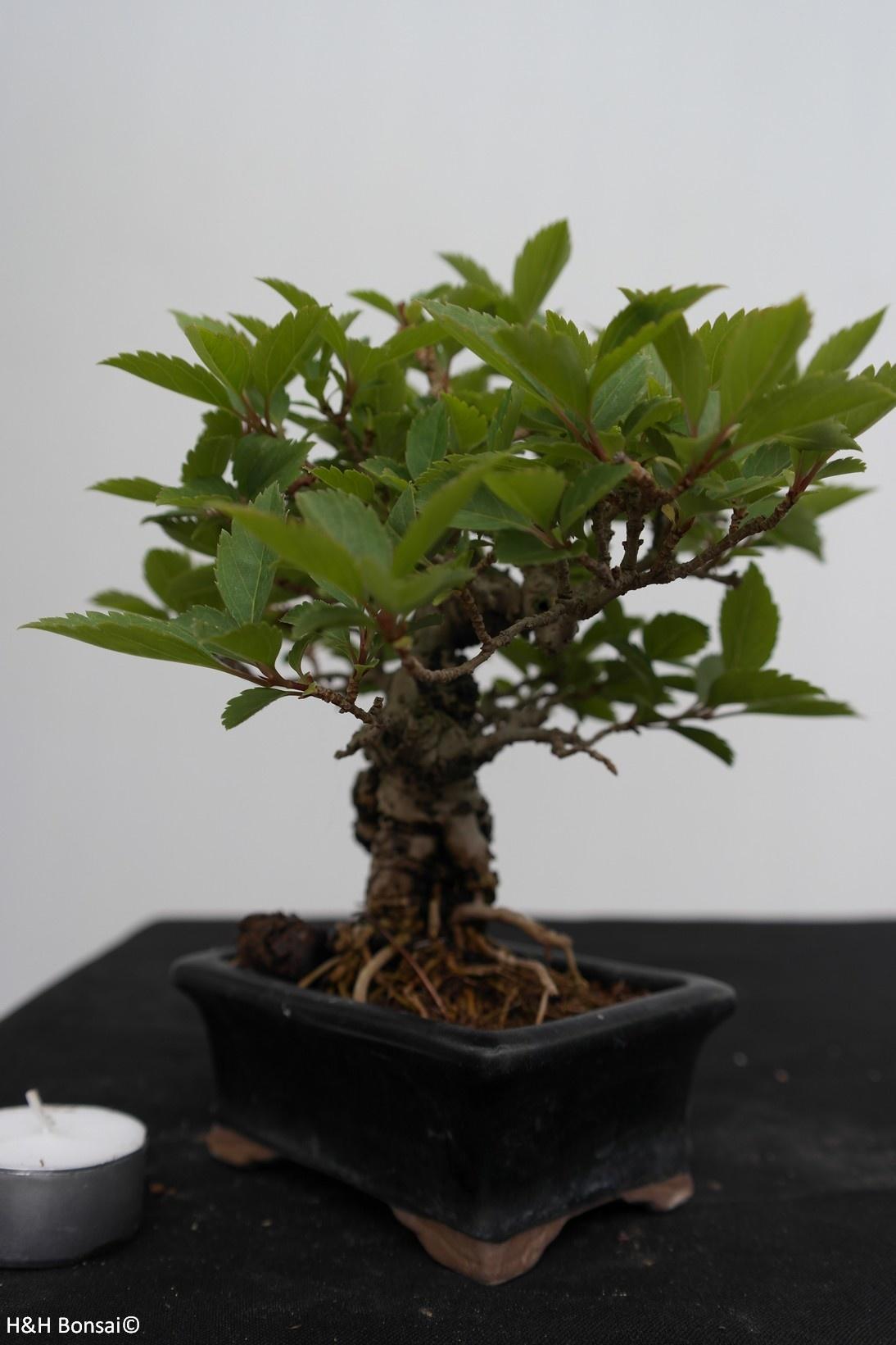 Bonsai Shohin Forsythia, Chinees klokje, nr. 7517