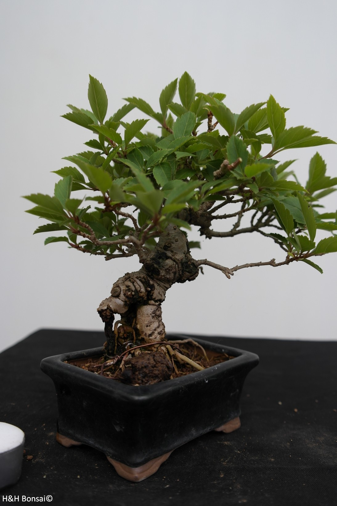 Bonsai Shohin Forsytie, Forsythia, no. 7517
