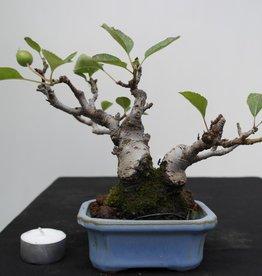 Bonsai Shohin Le Pommier,Malus, no. 7518