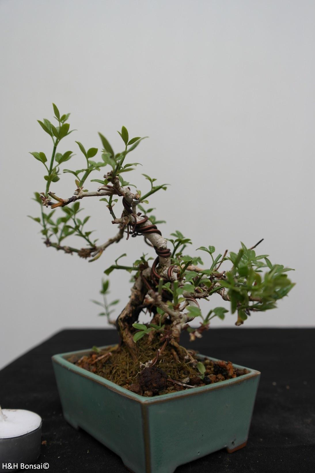 Bonsai Shohin Winter Jasmine Jasminum Nudiflorum No 7528 Www Henhbonsai Nl
