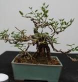 Bonsai ShohinWinterjasmin, Jasminum nudiflorum, nr. 7528