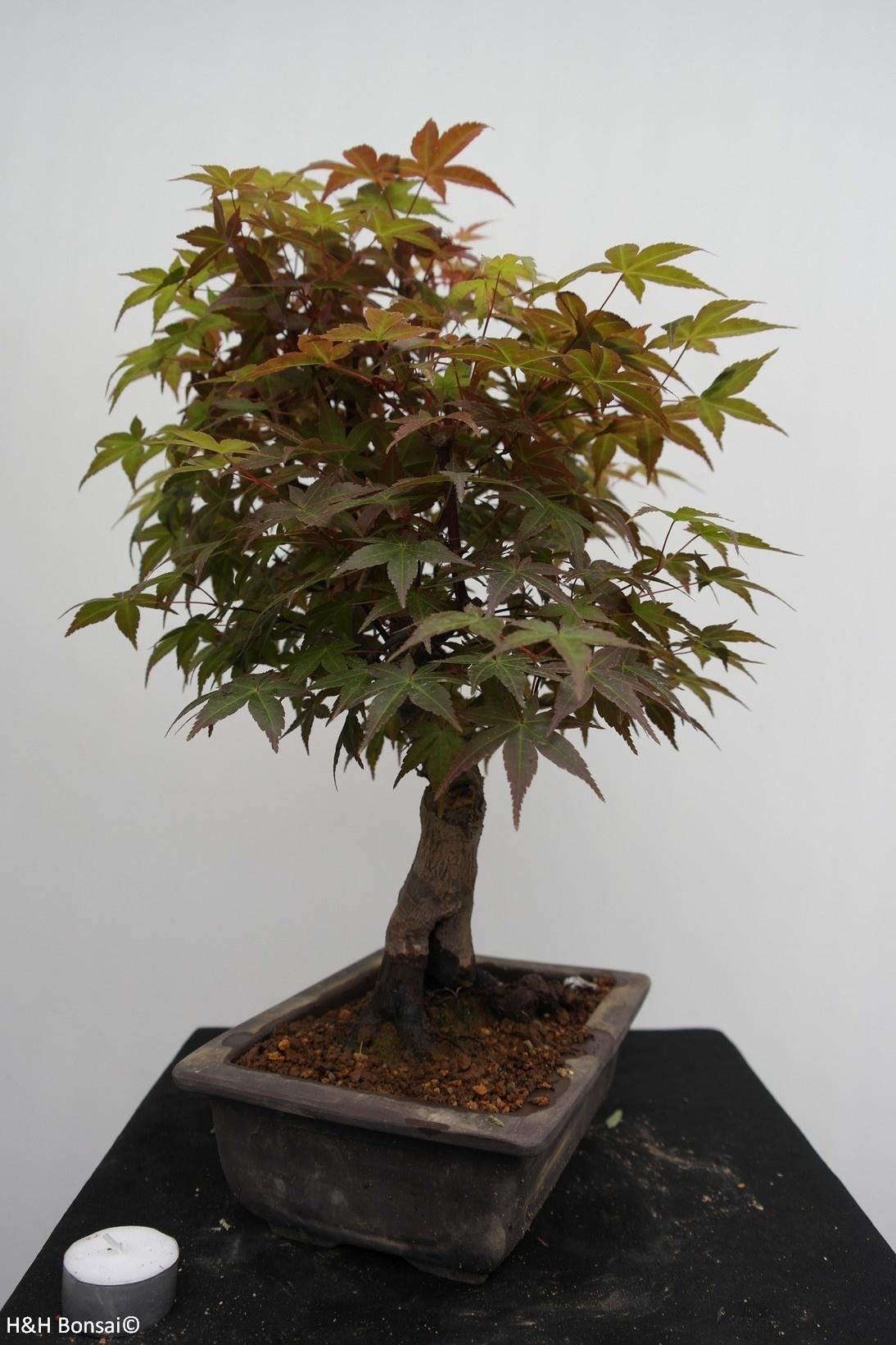 Bonsai Jap. Fächerahorn deshojo, Acer palmatum deshojo, nr. 7650