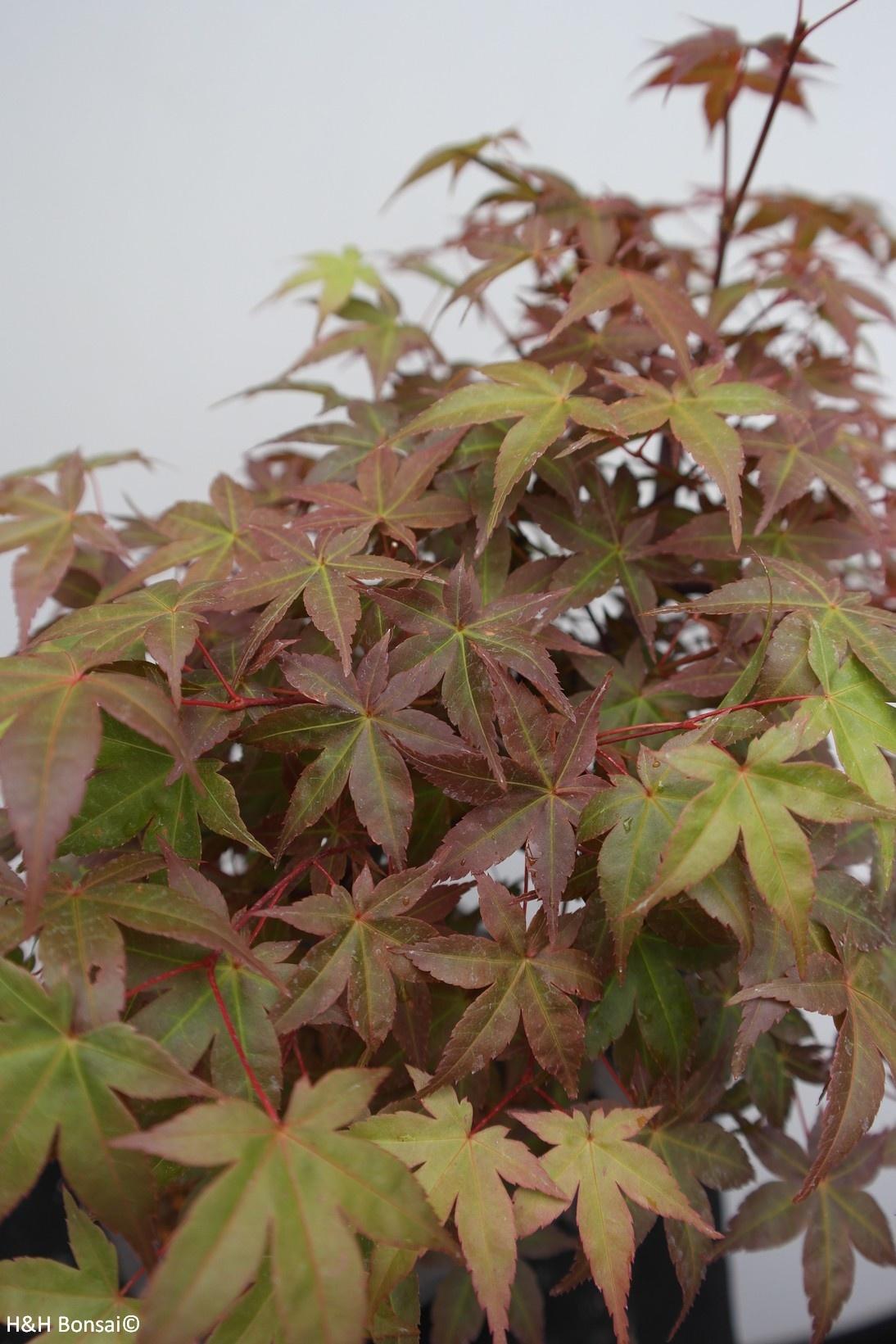 Bonsai Jap. Fächerahorn deshojo, Acer palmatum deshojo, nr. 7652