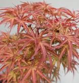 Bonsai Acer palmatum, Japanse esdoorn, nr. 7753