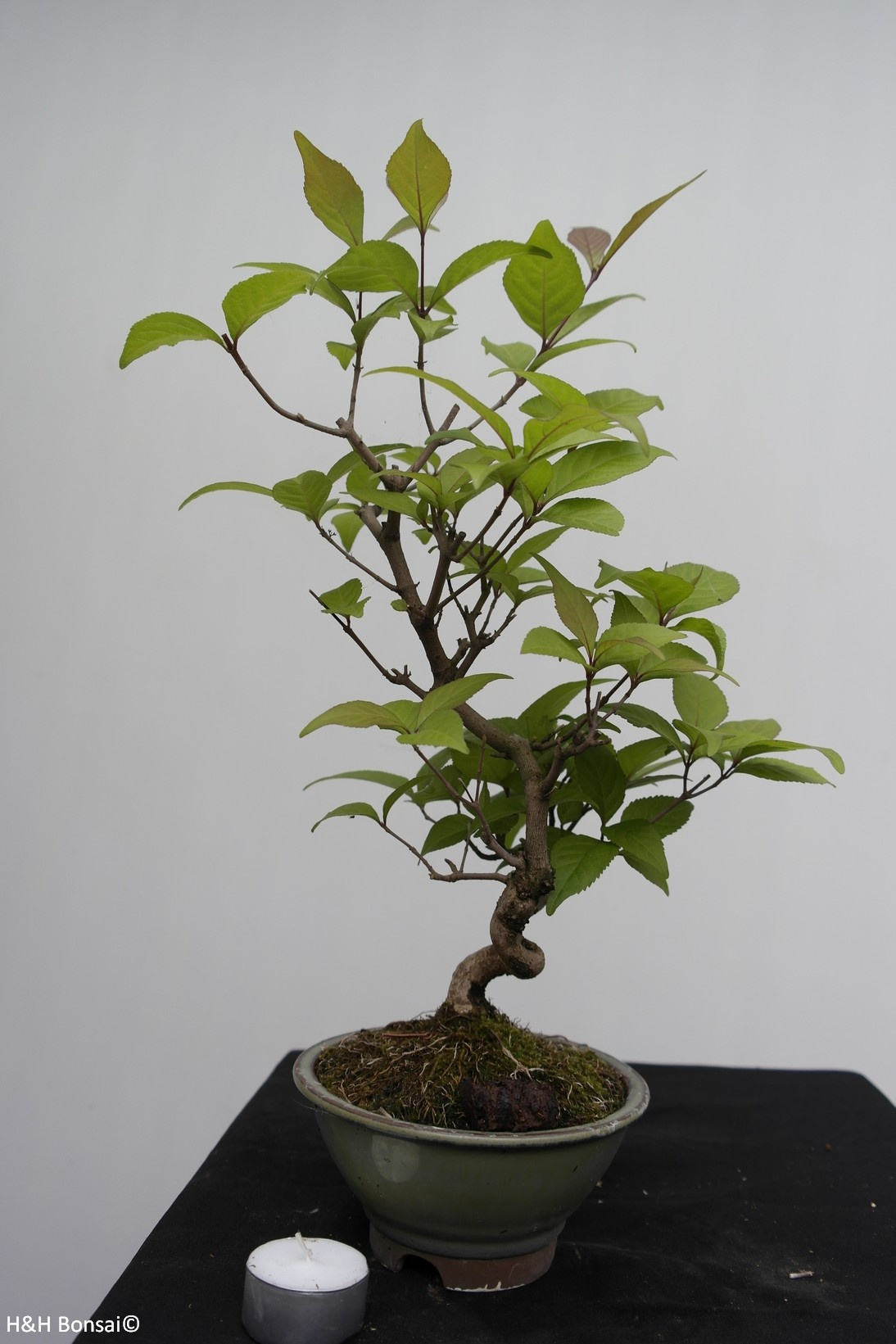 Bonsai Callicarpa japonica, Japanse schoonvrucht, nr. 7768