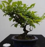 Bonsai Shohin Japanese snowbell, Styrax japonicus,no. 7769