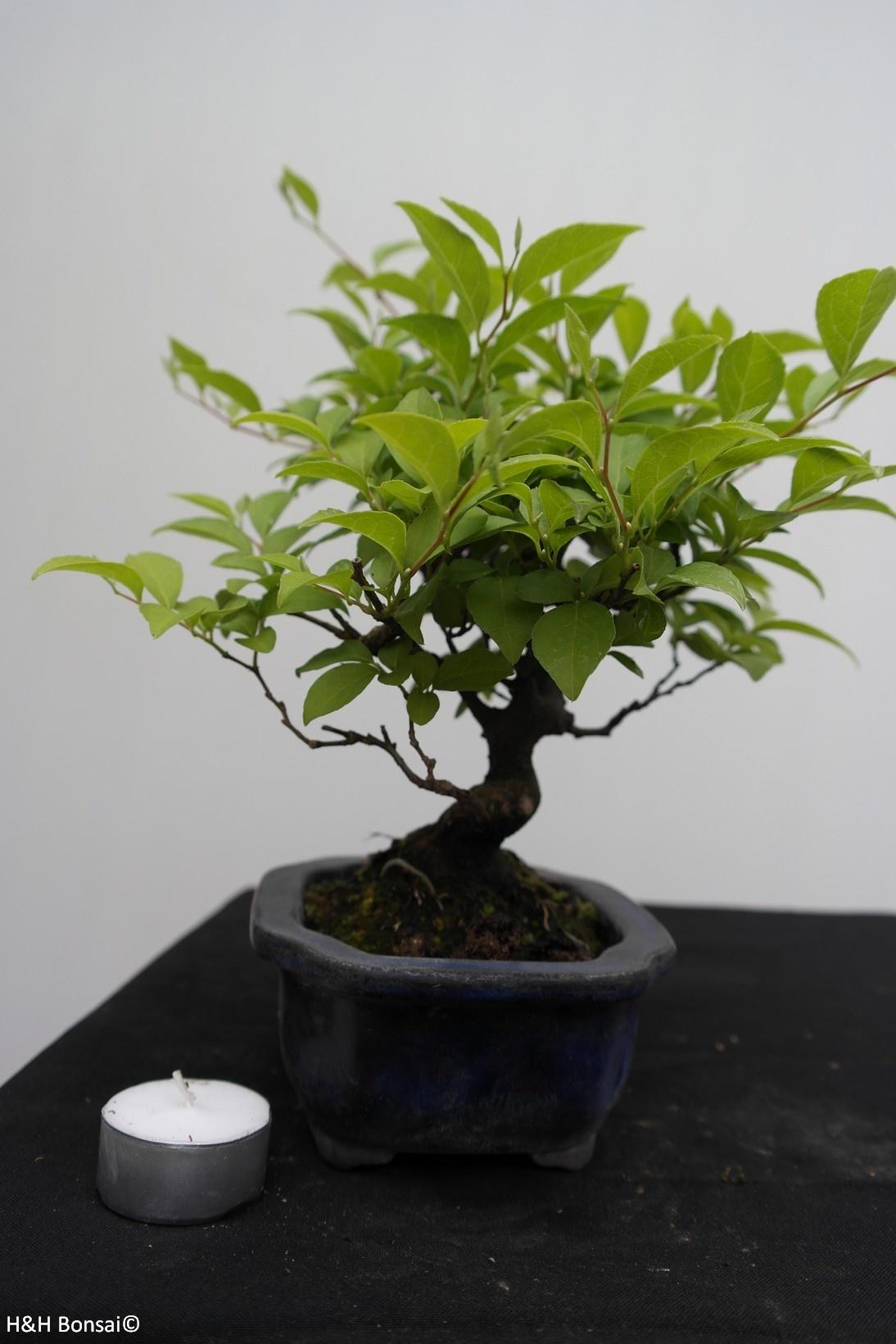 Bonsai Shohin Styrax japonicus,Japanse storaxboom, nr. 7769