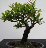 Bonsai Shohin Punica granatum, Granaatappel, nr. 7770