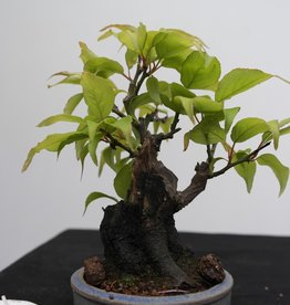 Bonsai Shohin Abricotier du Japon, Prunus mume, no. 7779