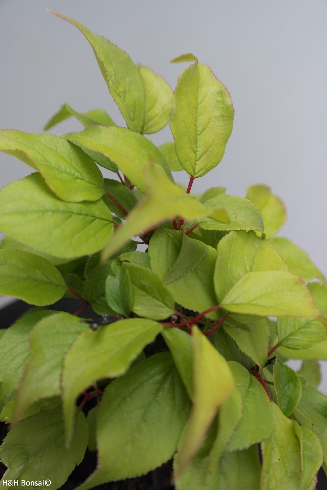 Bonsai Shohin Prunus mume, Japanse abrikoos, nr. 7780
