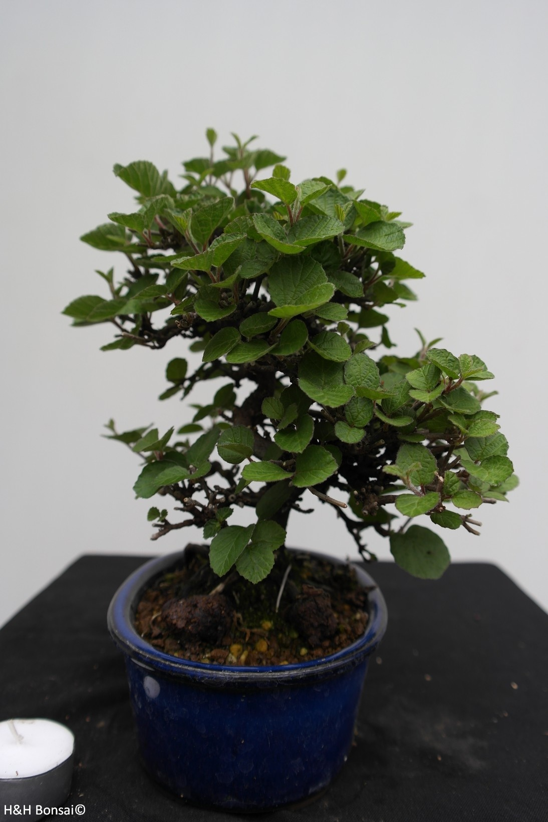 Bonsai Shohin Viburnum, no. 7782