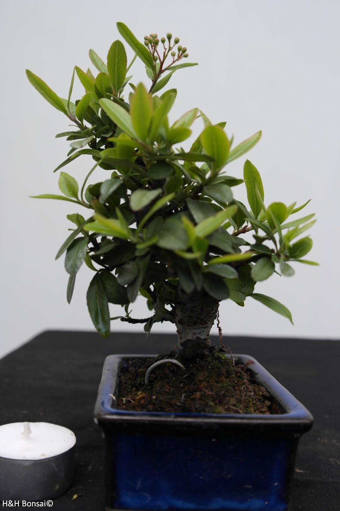 Bonsai Shohin Pyracantha, Vuurdoorn, nr. 7784