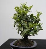 Bonsai Shohin Firethorn,Pyracantha, no. 7785