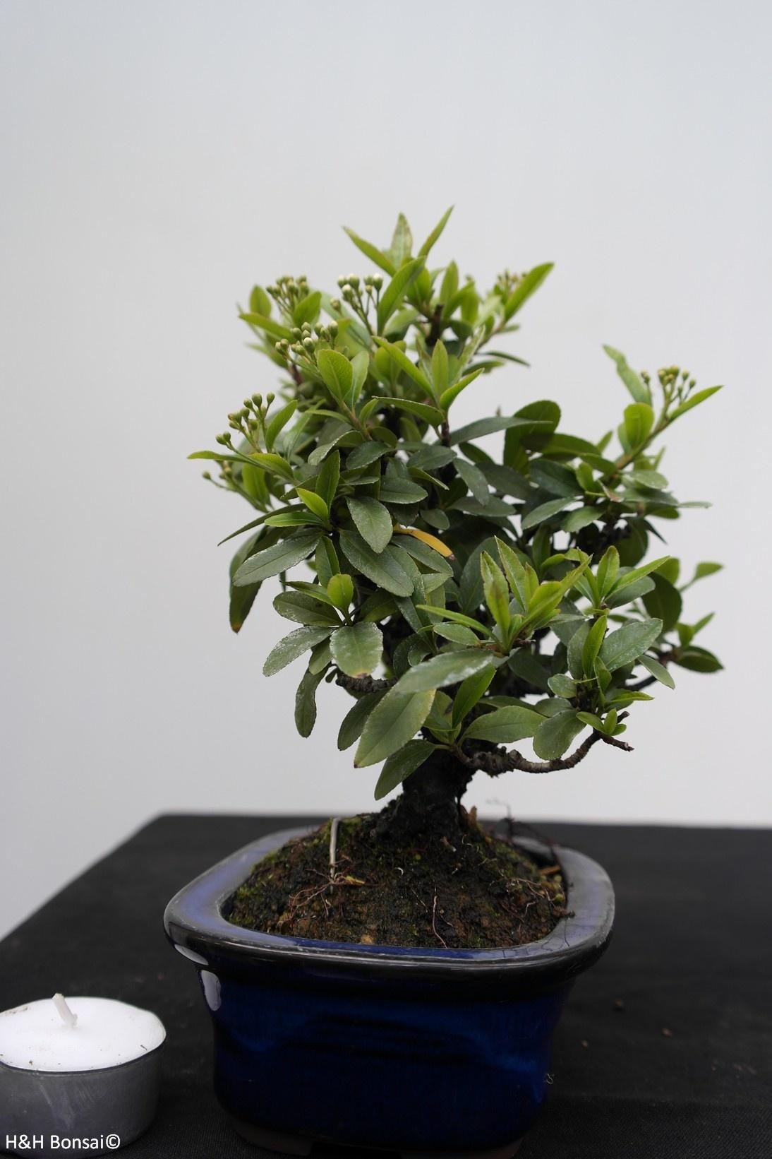 Bonsai Shohin Buisson ardent,Pyracantha, no. 7785