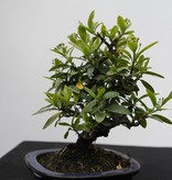 Bonsai Shohin Pyracantha, Vuurdoorn, nr. 7785