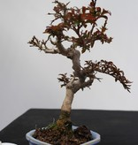 Bonsai Shohin Lagerstroemia, no. 7788