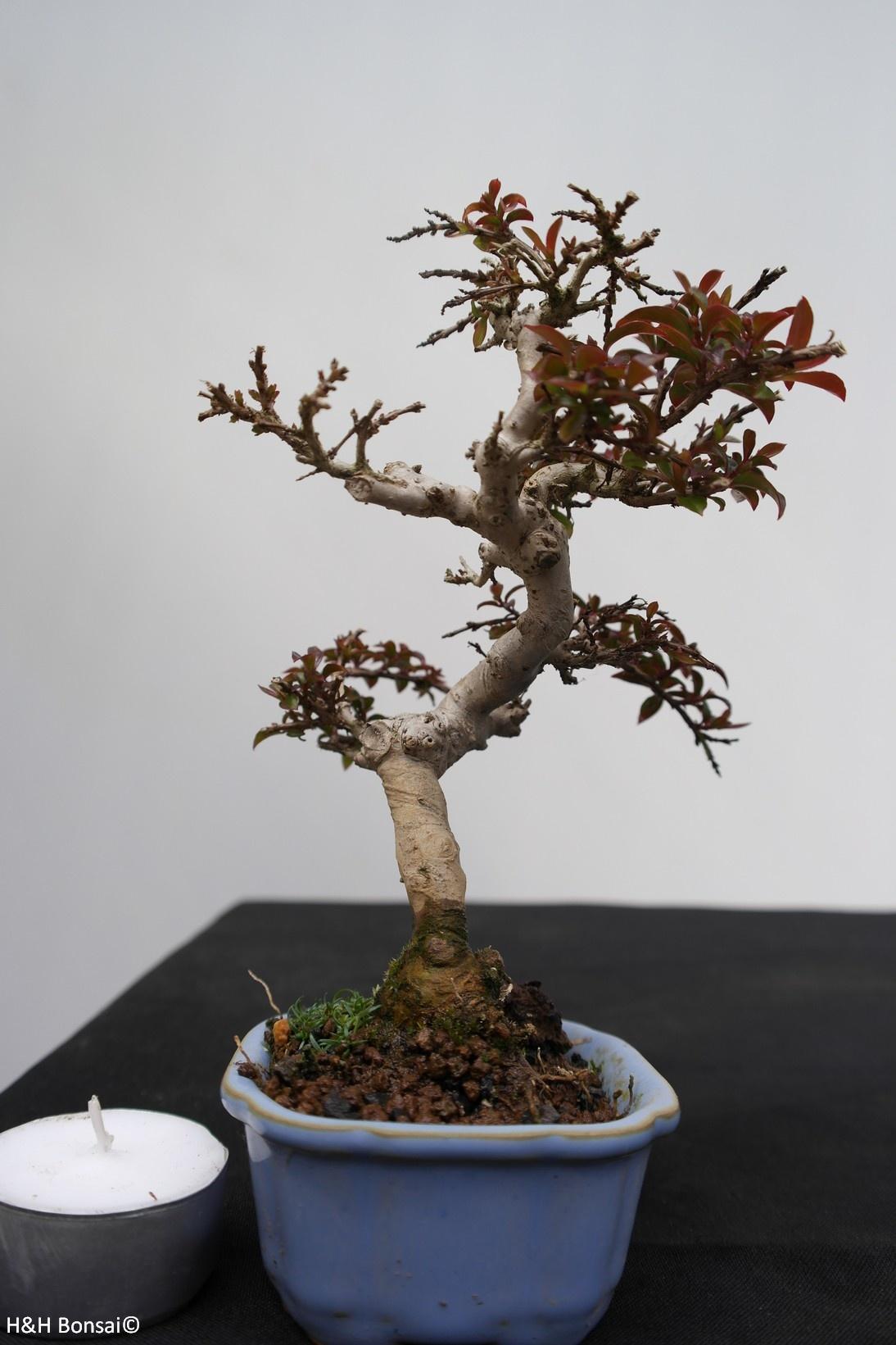 Bonsai Shohin Lagerstroemie,Lagerstroemia, nr. 7788