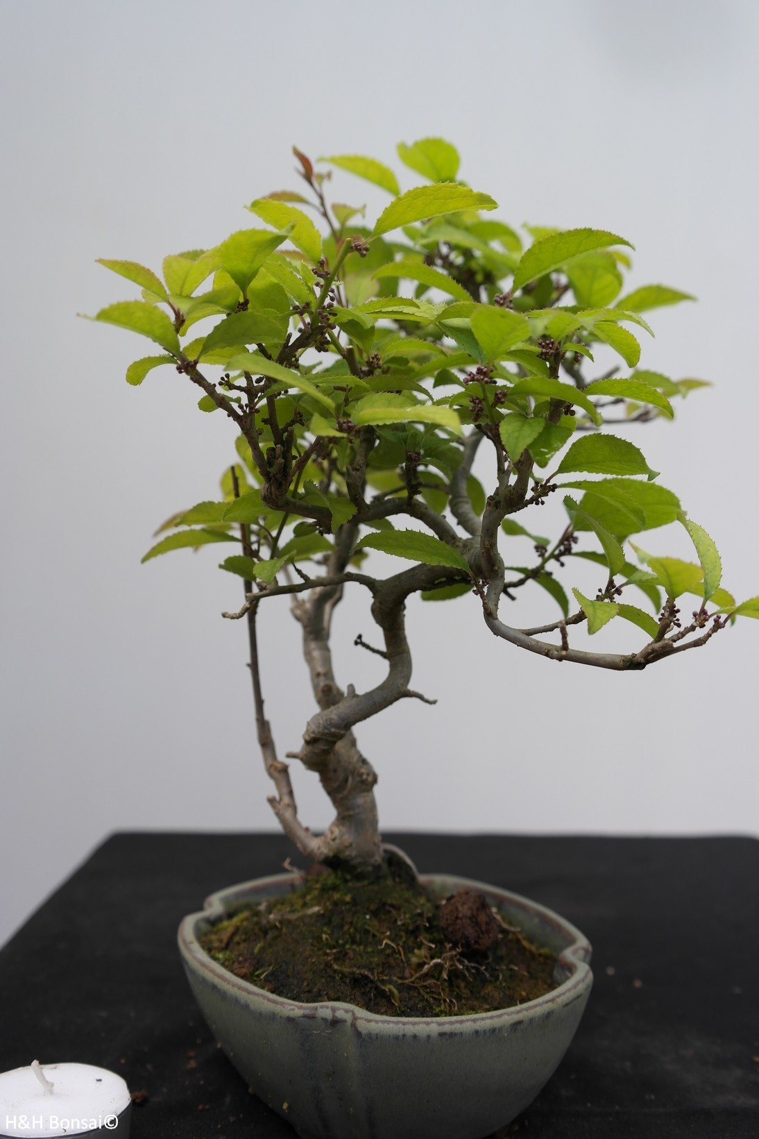 Bonsai Shohin Ilex serrata, no. 7789