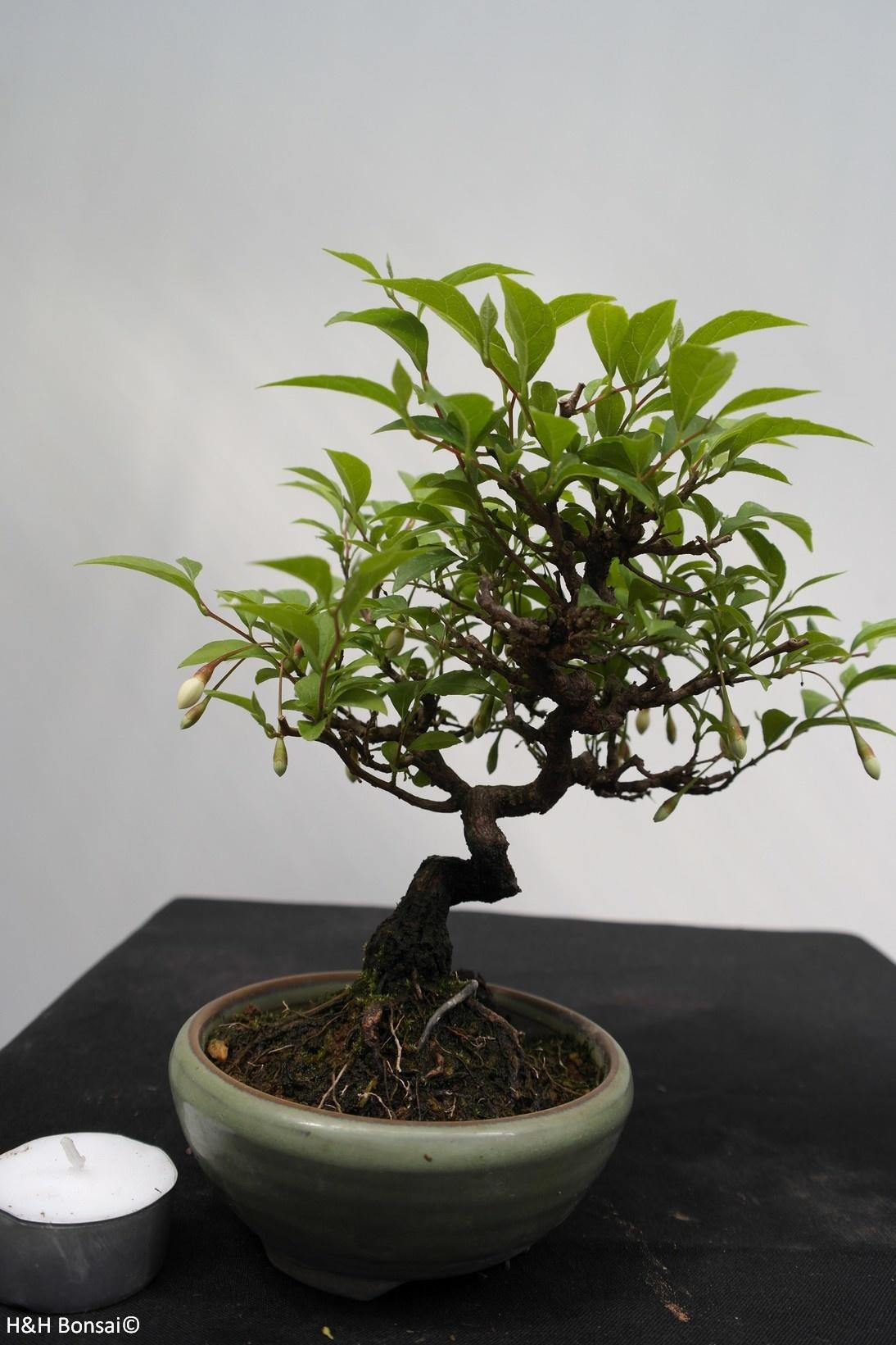 Bonsai Shohin Styrax japonicus,Japanse storaxboom, nr. 7790