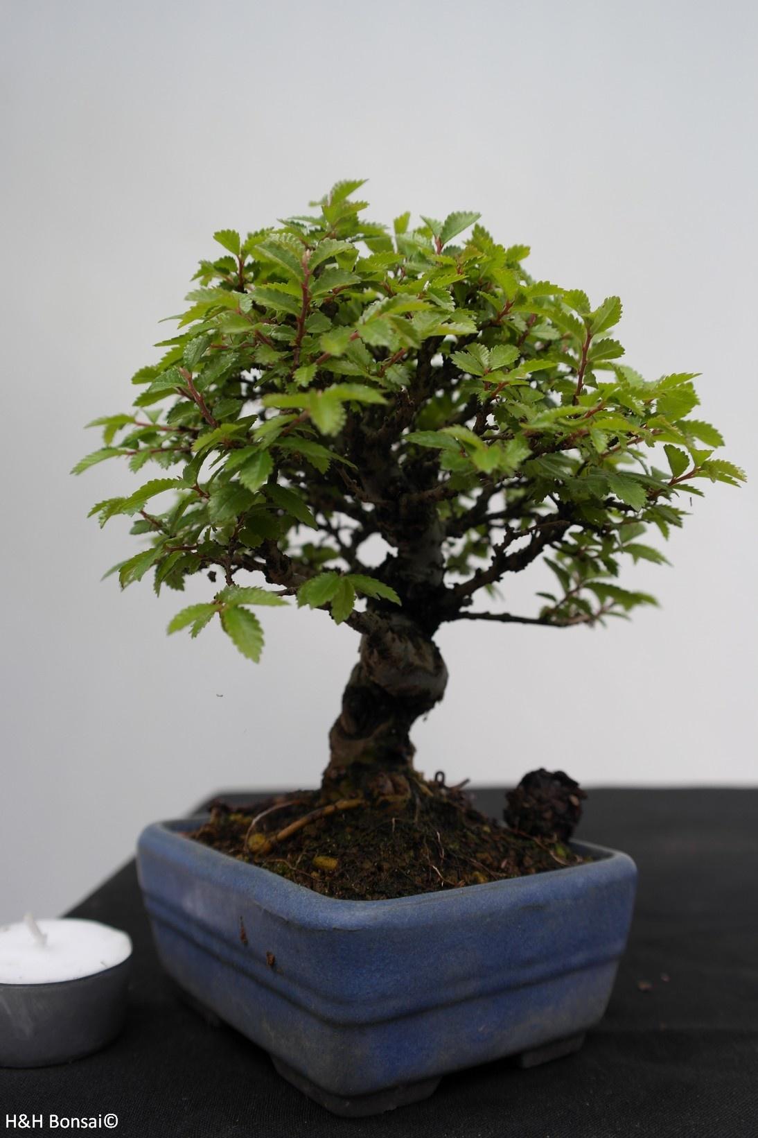 Bonsai Shohin Zelkova nire, nr. 7792