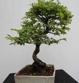 Bonsai Zelkova nire, nr. 7793