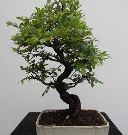 Bonsai Zelkova nire, nr. 7794