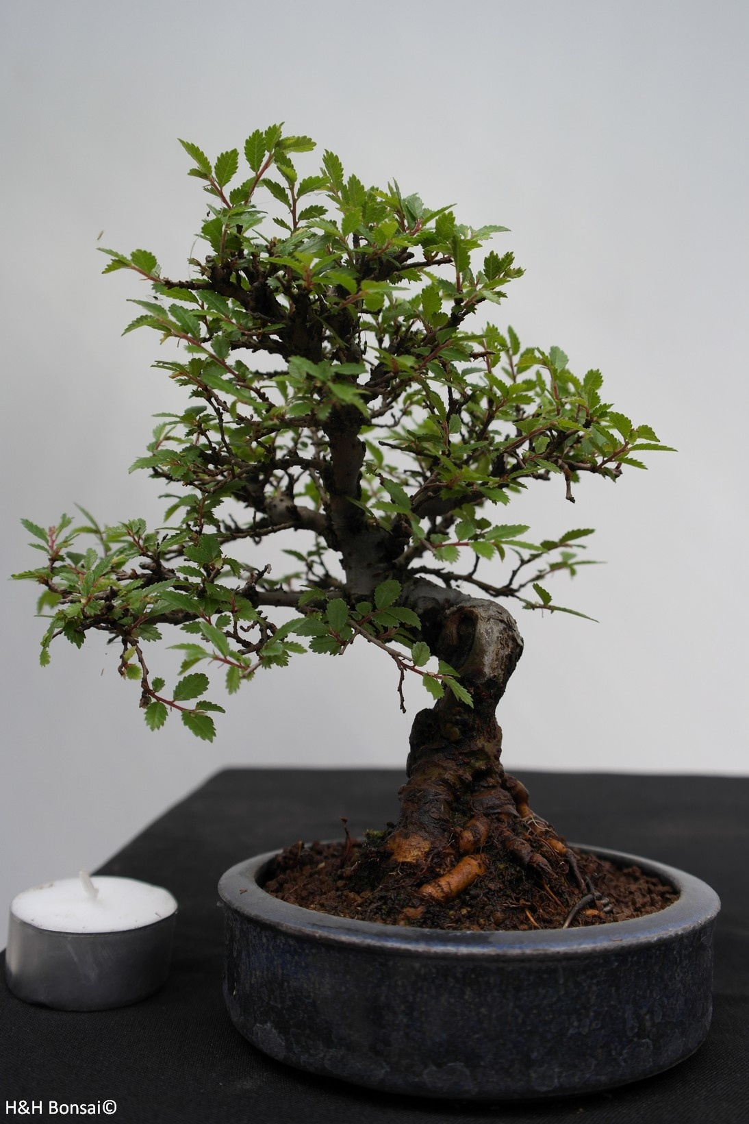 Bonsai Shohin Schwarze Zelkove, Zelkova nire, nr. 7797