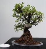 Bonsai Shohin Zelkova nire, nr. 7797
