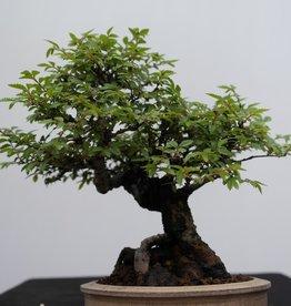 Bonsai Shohin Zelkova nire, nr. 7798