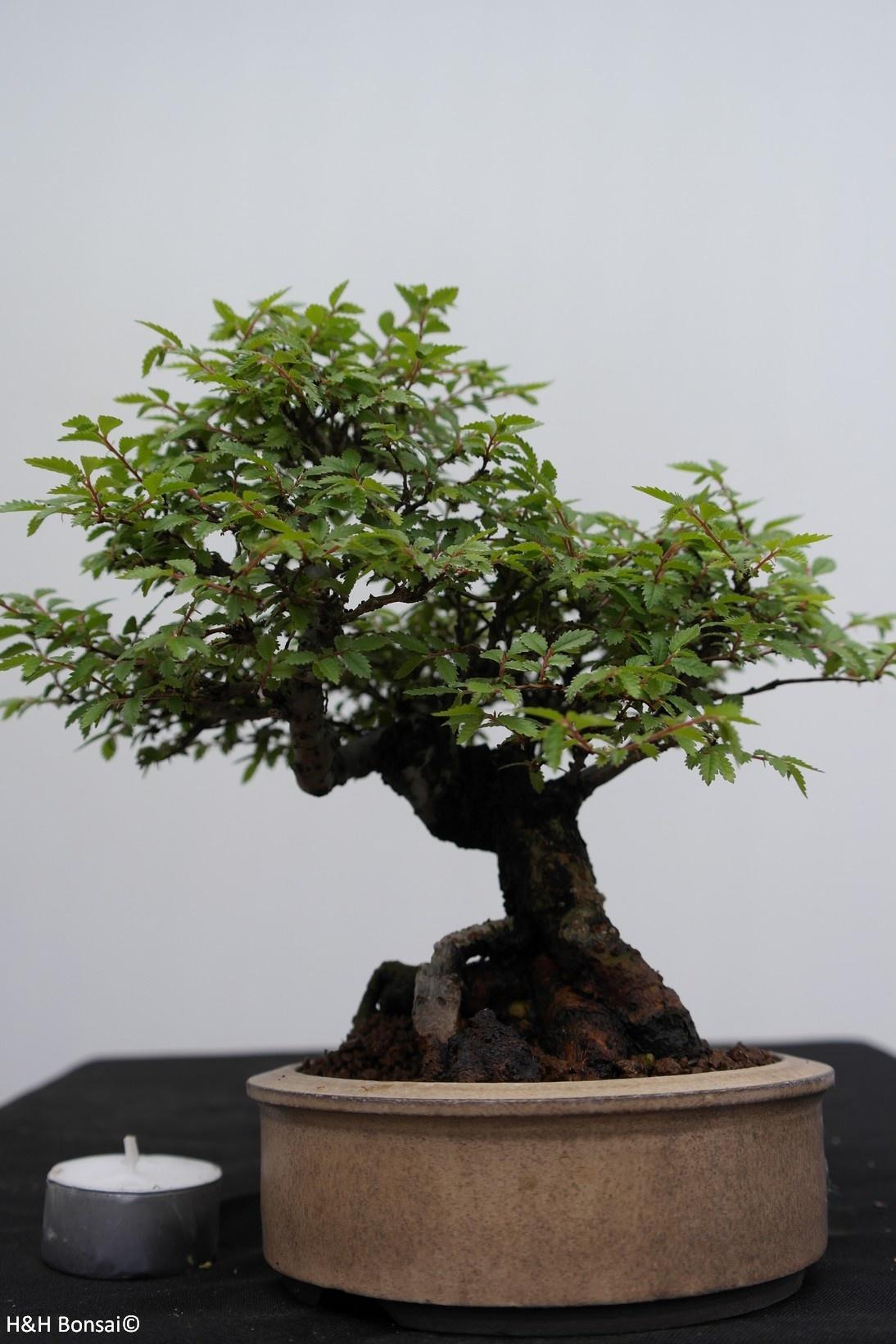 Bonsai Shohin Schwarze Zelkove, Zelkova nire, nr. 7798
