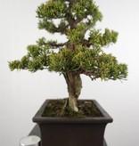 Bonsai Juniperus chinensis itoigawa, Jeneverbes,  nr. 5127