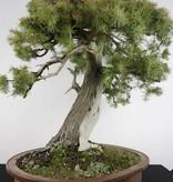 Bonsai Juniperus rigida, Jeneverbes, nr. 5142