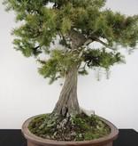 Bonsai Genévier rigida, Juniperus rigida, no. 5142
