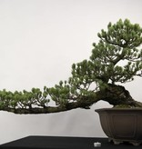 Bonsai White pine, Pinus penthaphylla, no. 5163