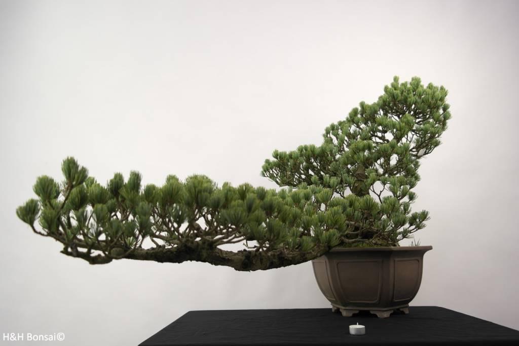 Bonsai Mädchenkiefer, Pinus penthaphylla, nr. 5163