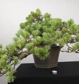 Bonsai Pin blanc du Japon, Pinus penthaphylla, no. 5172