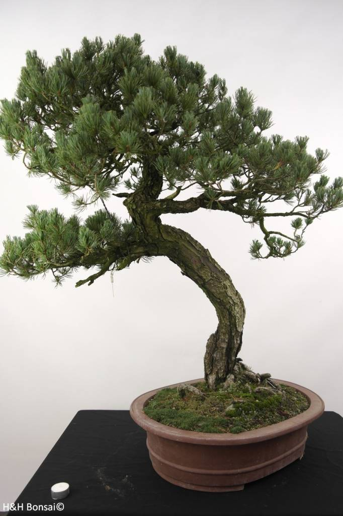 Bonsai White pine, Pinus penthaphylla, no. 5173