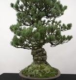 Bonsai Pinus penthaphylla, Japanse witte den, nr. 5174