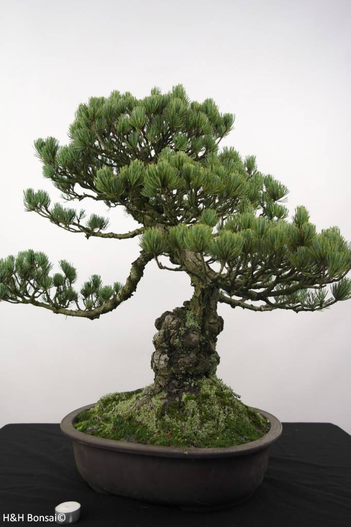 Bonsai White pine, Pinus penthaphylla, no. 5174