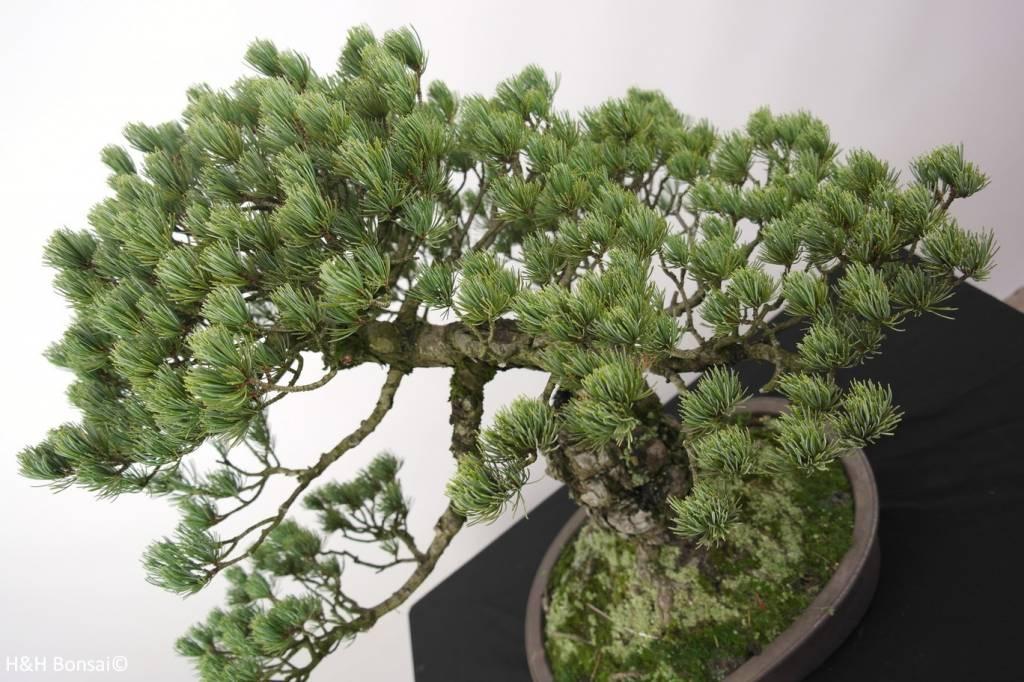 Bonsai Pin blanc du Japon, Pinus penthaphylla, no. 5174