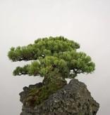Bonsai Pin blanc du Japon, Pinus penthaphylla, no. 5177