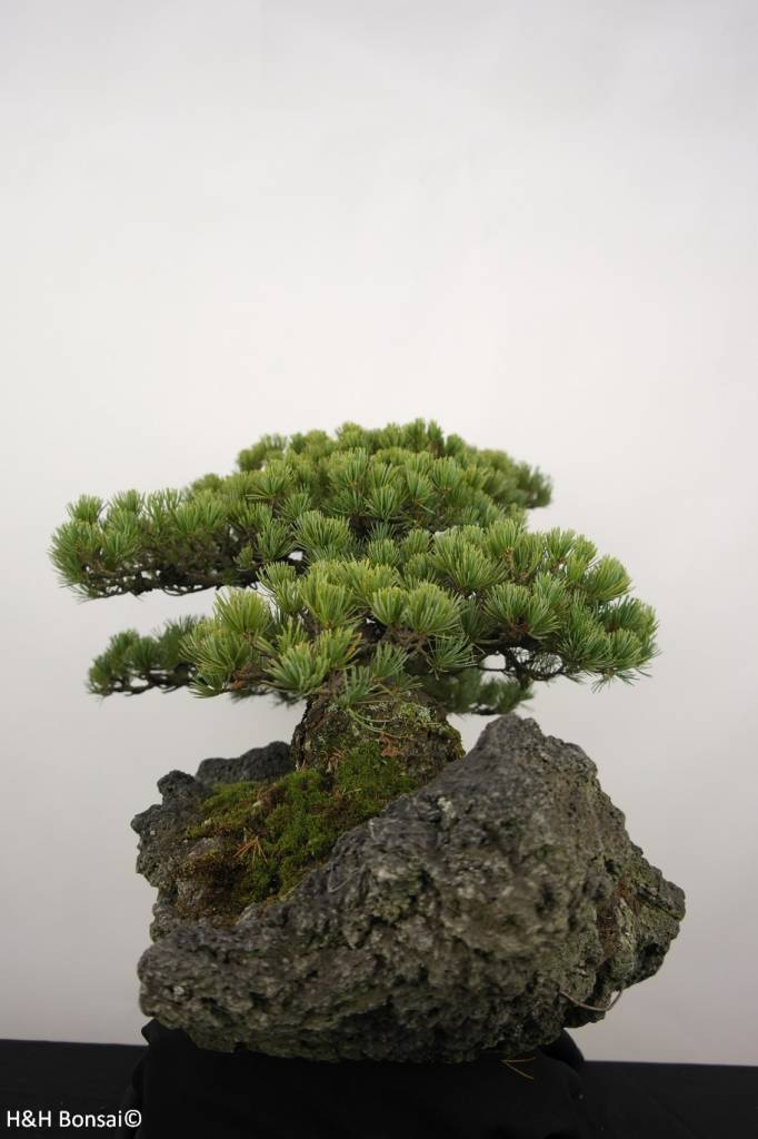 bonsai m dchenkiefer pinus penthaphylla nr 5177 www. Black Bedroom Furniture Sets. Home Design Ideas