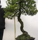Bonsai Pinus parviflora, Japanse witte den, nr. 5258