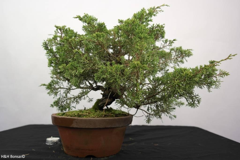 Bonsai Juniperus chinensis itoigawa, Jeneverbes, nr. 5277