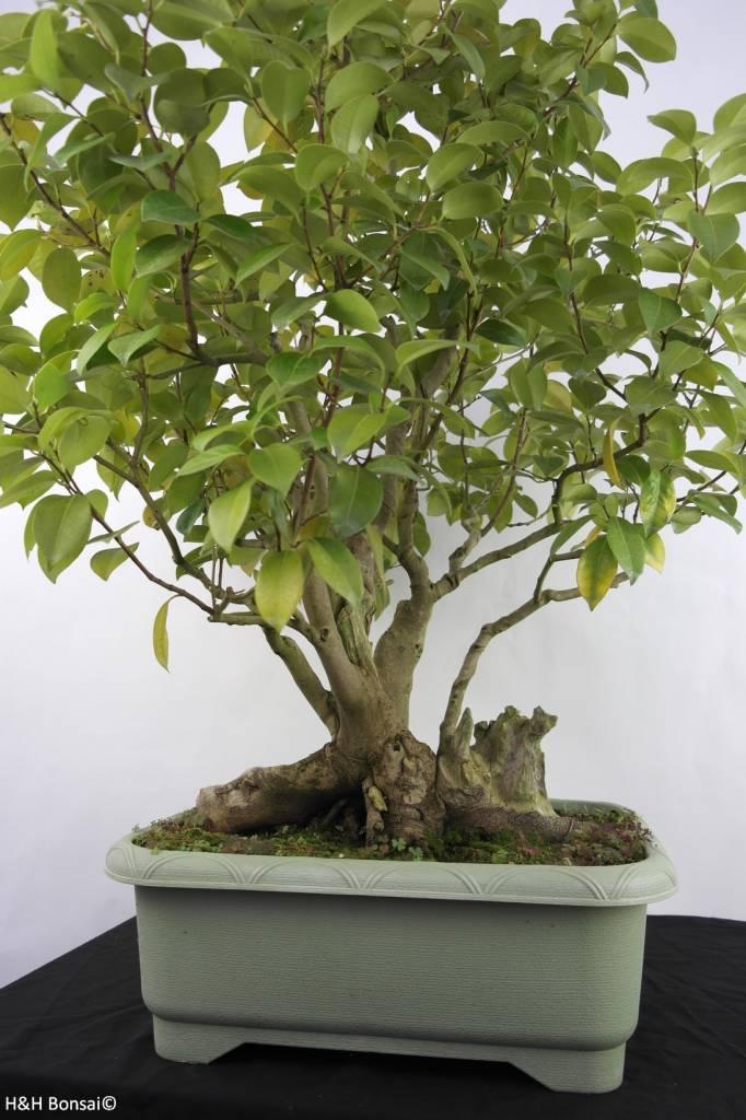 Bonsai Kamelie, Camellia japonica, nr. 5278